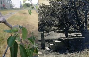 Color photographic image at left of a small red and green apple growing on a leafy branch; black and white photograph on right, depicting mature apple trees and a set of stone steps in a yard
