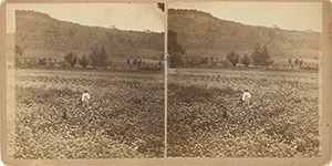 Stereoview of Enfield, NH Shaker Village - Joseph Joslin stands in in a field of parsnips at North Family.
