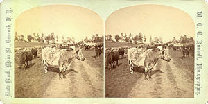 Stereoview of Canterbury, NH Shaker Village - Herd of Cattle.