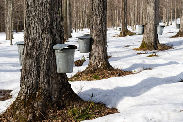 Collecting Sap to Make New Hampshire Maple Syrup