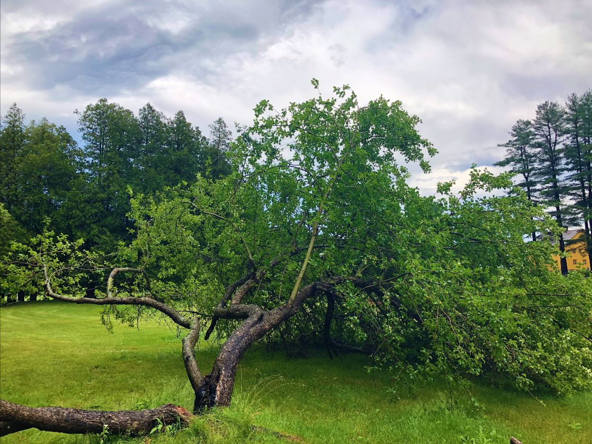 Yellow Russet Apple Tree at Enfield Shaker Museum